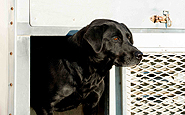 dog_training_kennels_lab_trainer